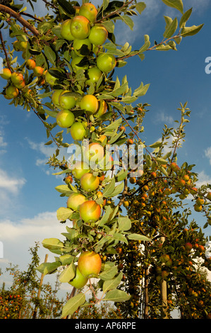 The boughs of an apple tree in late summer filled with with ripening fruit, set against a blue sky. - Stock Photo