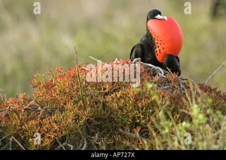 Male Great Frigatebird Fregata minor ridgwayi mating display Galapagos National Park Ecuador - Stock Photo