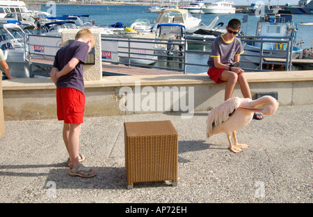 Tourists looking at pink pelican at harbour in Pafos on the Eastern Mediterranean island of Cyprus EU - Stock Photo