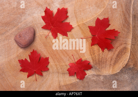 Red Bigtooth Maple leaves on marbled sandstone in Upper Zion Canyon Zion National Park Utah - Stock Photo