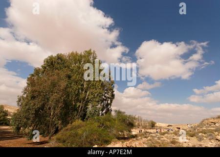 Israel the Negev Desert Eucalyptus tree in Be erotaim - Stock Photo