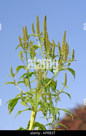 Giant Ragweed (Ambrosia trifida), flowering - Stock Photo