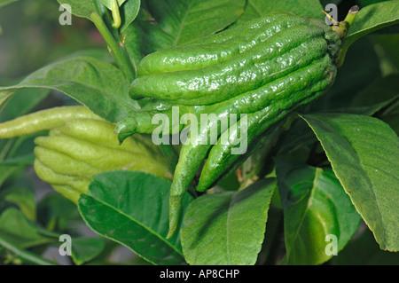 Citron, Buddhas Hand, Buddhas Hand citron, Fingered citron  (Citrus medica var. sarcodactylis), fruit on tree - Stock Photo
