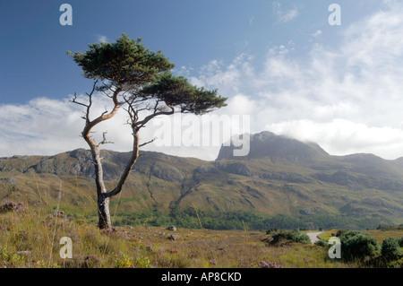 Lone Scots Pine Tree and Slioch Beinn Eighe NNR.  XPL 3488-340 - Stock Photo
