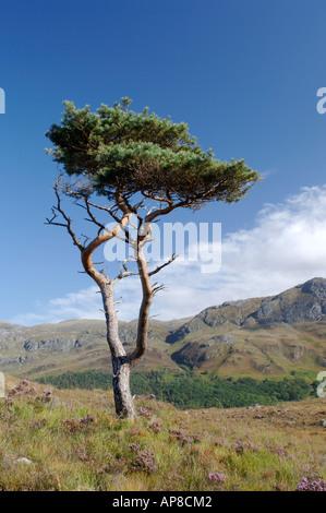 Lone Scots Pine Tree and Slioch Beinn Eighe NNR.  XPL 3489-340 - Stock Photo