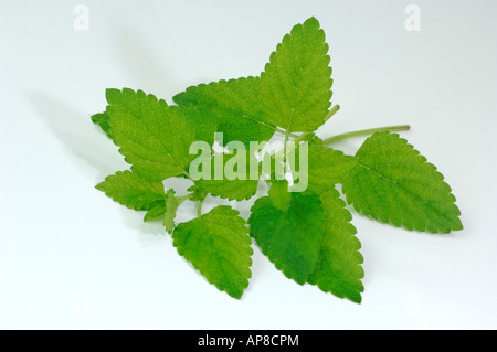 Bee Balm, Lemon Balm  (Melissa officinalis), stem with leaves, studio picture - Stock Photo
