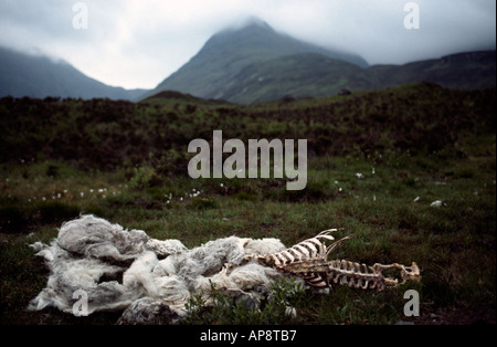 PICTURE CREDIT DOUG BLANE Sheep carcass in the mountains on the Isle of Skye Highlands Scotland United Kingdom of - Stock Photo