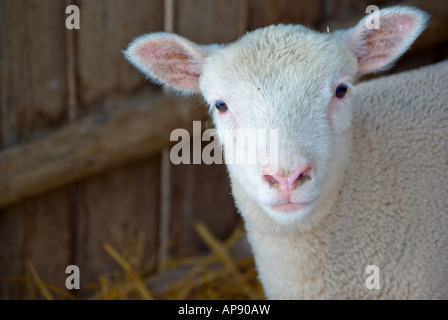 a very cute little baby lamb looks at the camera - Stock Photo