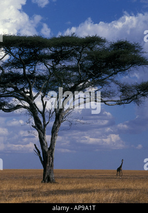 AN UMBRELLA OR FLAT TOPPED ACACIA TREE WITH A DISTANT GIRAFFE ON THE OPEN GRASS PLAINS OF THE SERENGETI NATIONAL - Stock Photo