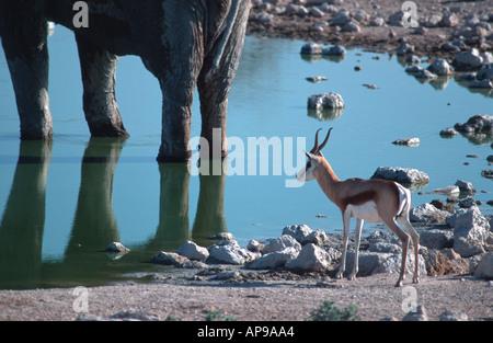 Elephant and Springbok (Antidorcas marsupialis) at Okaukuejo waterhole Etosha National Park Namibia 2000 - Stock Photo