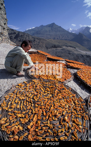 Apricots laid outin flat baskets to dry in the baking Himalayan sun Karimabad Karakoram Mountains Pakistan - Stock Photo
