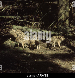 Young striped wild boar piglets in dappled woodland light - Stock Photo