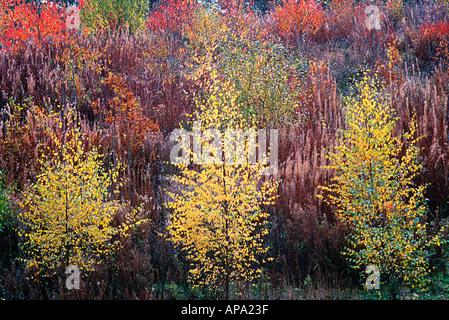 Young trees autumn colour chilterns bucks uk england - Stock Photo