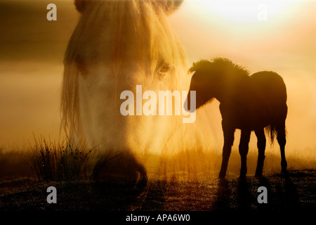 Silhouette of a Dartmoor pony foal on a misty sunrise with its mothers head digitally composited over it. Dartmoor, - Stock Photo