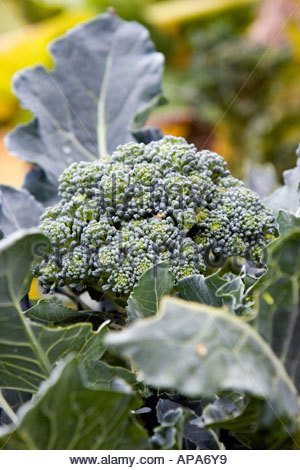how to grow broccoli sprouts in soil