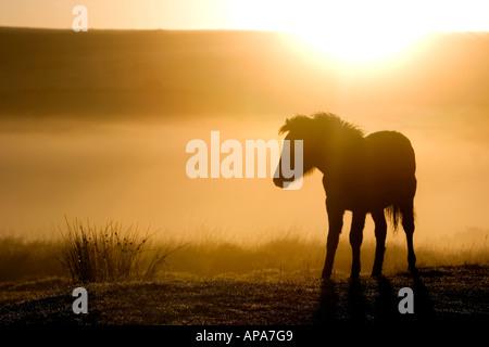 Dartmoor pony foal in the early morning sunrise mist. Dartmoor national park, Devon, UK - Stock Photo