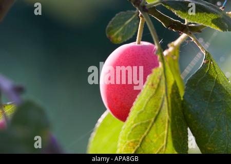 Prunus domestica. Victoria plum on tree - Stock Photo