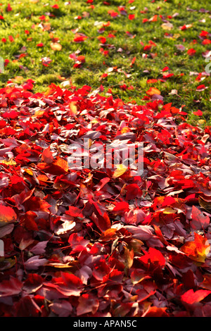 Pile of red leaves on lawn - Stock Photo