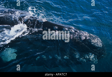 Southern Right Whale (Eubalaena glacialis) breaching at breeding ground, Valdez Peninsula, Argentina - Stock Photo