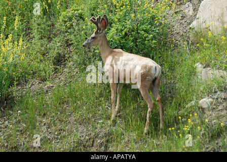 Mule Deer or Black-Tailed Deer a classic portrait showing black tip to tail - Stock Photo