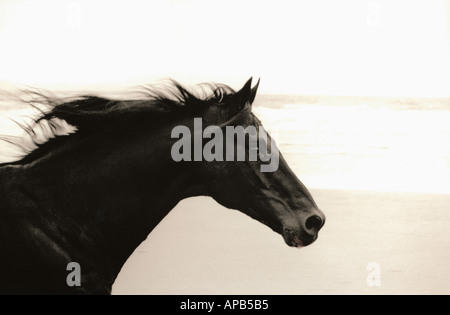 Close up of head of a black horse galloping on a beach - Stock Photo