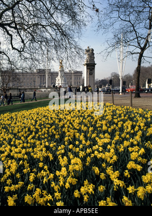 The Mall London Spring display of Daffodils along the edge of St James Park with  Victoria memorial and Buckingham - Stock Photo