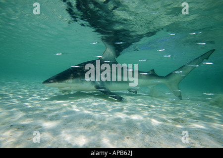 Blacktip shark Carcharhinus limbatus Bahamas Atlantic Ocean - Stock Photo
