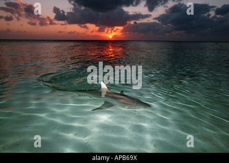 Blacktip shark Carcharhinus limbatus at sunset - Stock Photo