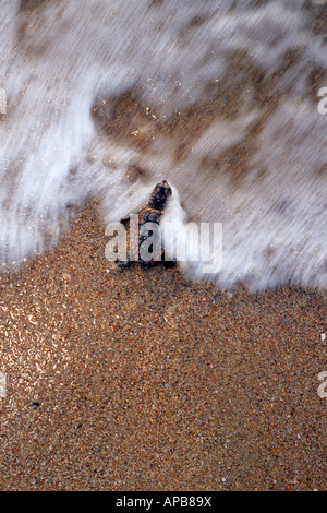 Loggerhead turtle Caretta caretta - Stock Photo