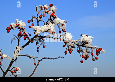 Close-up of some rose hips covered with hoar frost on a beautiful winter´s day - Stock Photo
