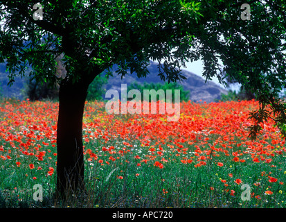 tree and poppies in field spain andalucia - Stock Photo