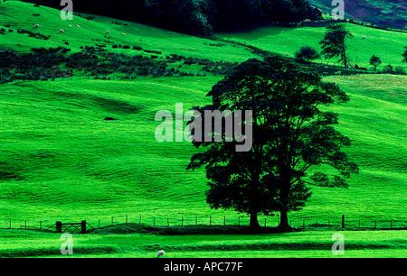 single tree summer green fields grass verdant fresh lake district cumbria england uk - Stock Photo
