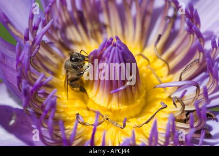 Bee on purple pink lotus flower (Brazil 2005) - Stock Photo