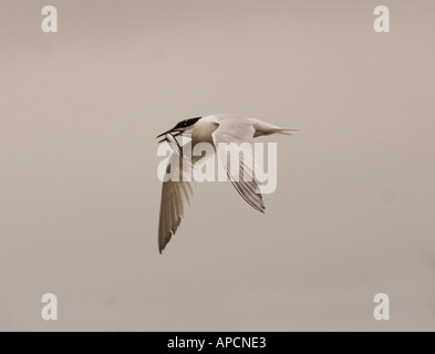 Sandwich tern returning with sand eel for courtship display - Stock Photo