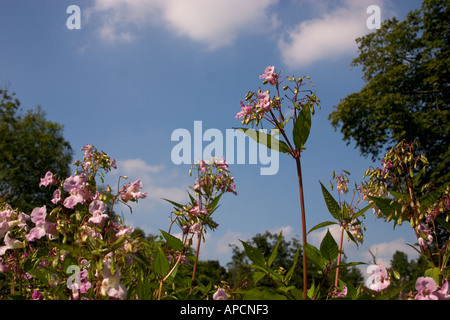 Himalayan Balsam flowers and exploding fruits against a blue sky Stock Photo