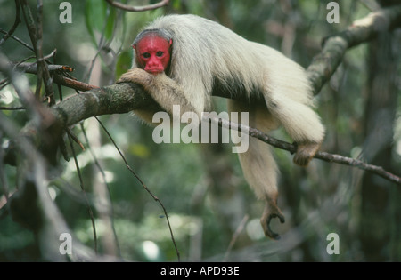 Rare uakari monkey in the Varzea (flooded forest), Amazon, Brazil - Stock Photo