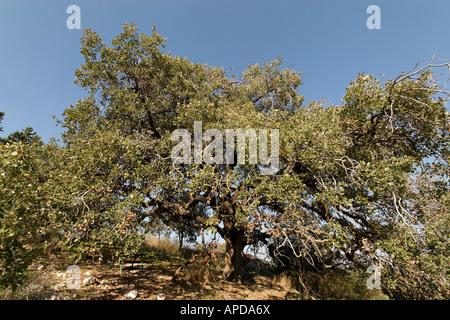 Israel Jezreel Valley Mount Tabor Oak Qyercus Ithaburensis tree in Mishmar Haemek - Stock Photo