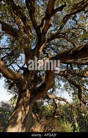 Israel Jezreel Valley Mount Tabor Oak Quercus Ithaburensis tree in Mishmar Haemek - Stock Photo