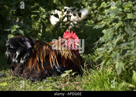 Partridge Cochin Cockerel Free Range Organic fed from Cumbria UK - Stock Photo