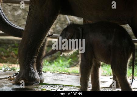 Elephants at Pinnawela Elephant Orphange, near Kandy, central Sri Lanka ©Mark Shenley 2006 - Stock Photo