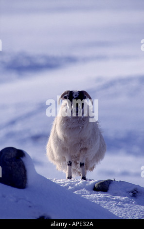 Black Faced Sheep in Winter in the Scottish Highlands  GMM 1059 - Stock Photo
