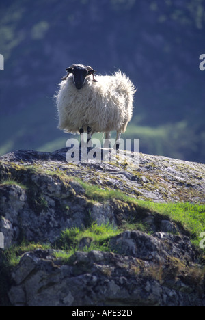 Black Faced Sheep Ewe on a rock in the Scottish Highlands GMM 1060 - Stock Photo