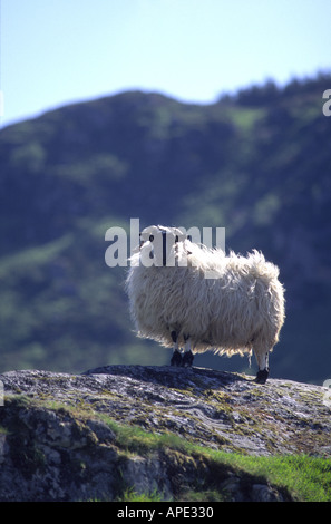 Sheep Black Faced Ewe on a rock in the Scottish Highlands GMM 1061 - Stock Photo