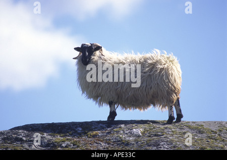 Black Faced Sheep on a rock in the Scottish Highlands   GMM 1066 - Stock Photo