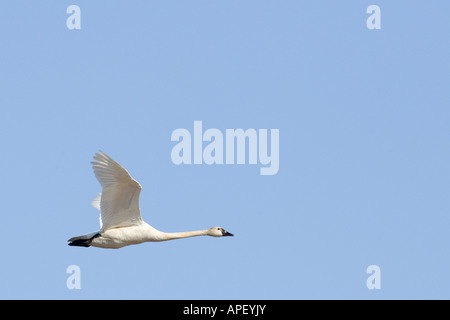 alaska tundra swan flying near barrow Cygnus columbianus - Stock Photo