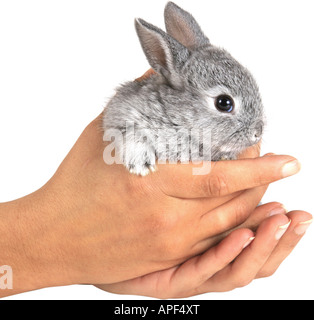 domestic rabbit Oryctolagus cuniculus f. domestica in human hands - Stock Photo
