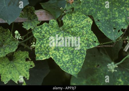 Cucumber mosaic virus symptoms on squash leaf Thailand - Stock Photo