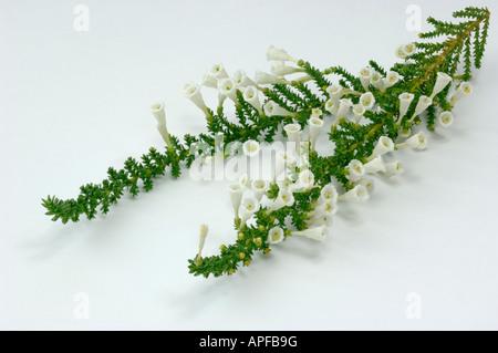 Pichi (Fabiana imbricata), flowering twigs, studio picture - Stock Photo