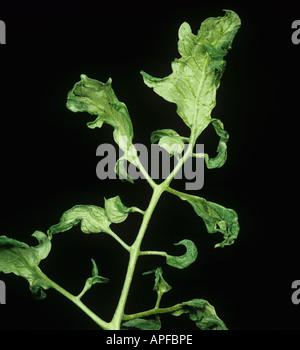 Fern leaf a sympton of cucumber mosaic virus on tomato - Stock Photo