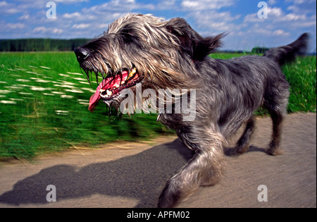 dog Schnauzer Mixed Breed running in the nature on a track across the fields panting his tongue hanging out of his - Stock Photo